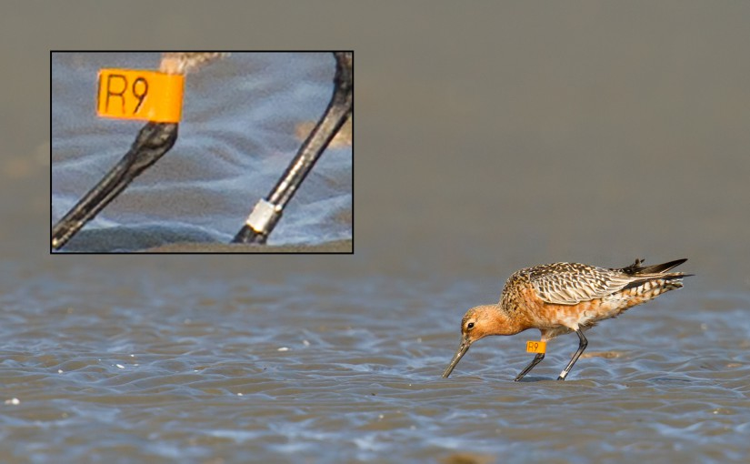 A Bar-tailed Godwit with bands from Victoria, Australia forages on mudflats at Sānmíncūn (三民村), Jiangsu, China, 12 April 2015. The story behind this godwit is just one of many told in our comprehensive reports about birding in the exciting Shanghai region.