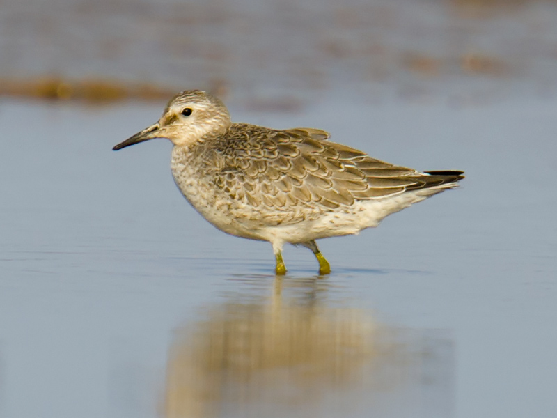 Near-threatened Red Knot was noted on three occasions, all in September and all at Dongtai.