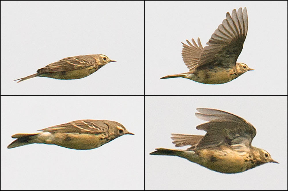Buff-bellied Pipit Anthus rubescens japonicus. Lack of streaking on back separates Buff-bellied Pipit from Red-throated Pipit A. cervinus. Photos taken in the space of 1 second at 12:55:48 on 29 March 2015 at Chongming, Shanghai.