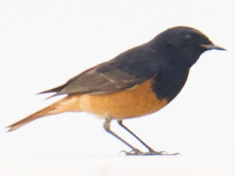 Black Redstart, very uncommon vagrant to Shanghai. Hengsha, 18 April 2015.