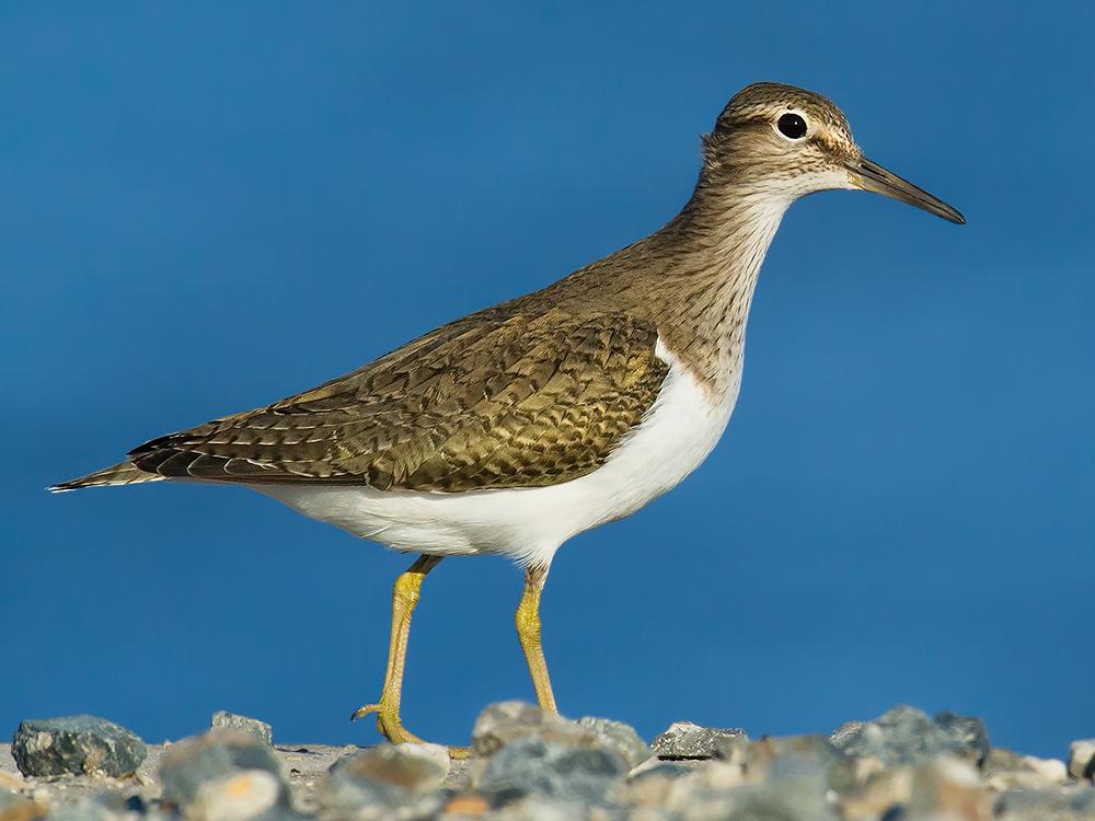 Common Sandpiper, Nanhui, 21 May 2015. Using the door of the car as a blind, I climbed out and lay on the ground. The low sun was directly behind me. I was using Kai Pflug's 1.4x TC on my Nikon 600 mm F4 lens attached to my Nikon D3S. The feet of the sandpiper are cut off, but there was no way around that. F9, 1/1260, ISO 1600.
