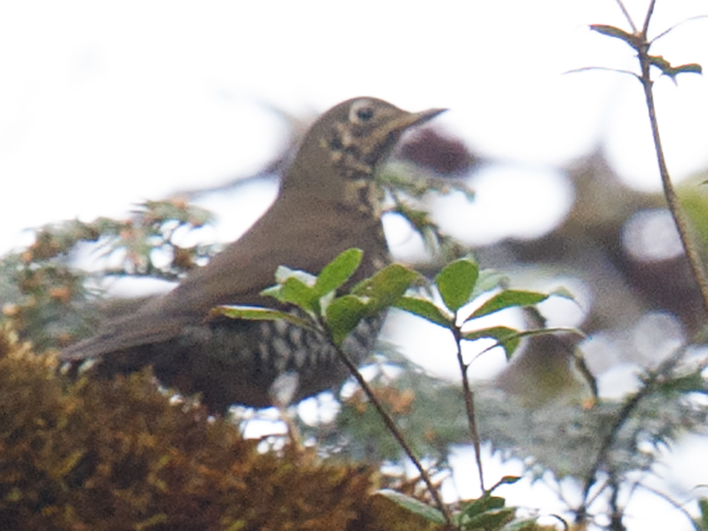 Alpine Thrush