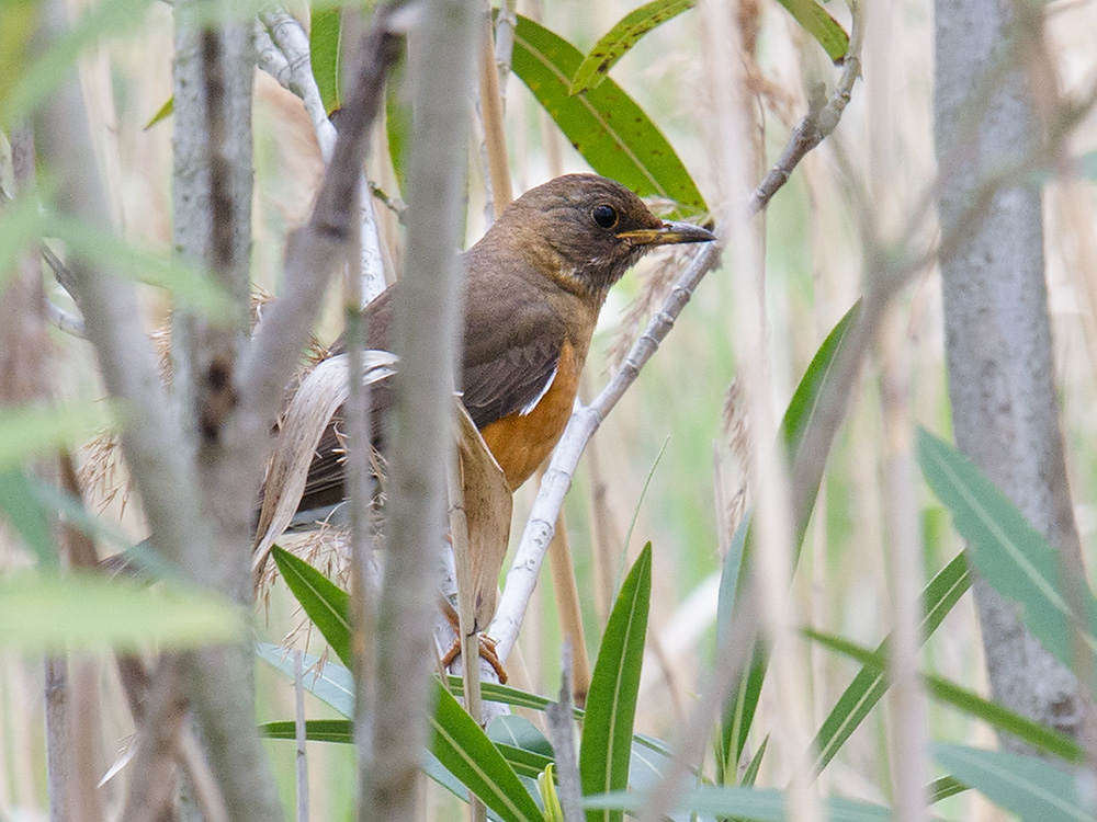 Brown-headed Thrush, Nanhui, 9 April 2015.