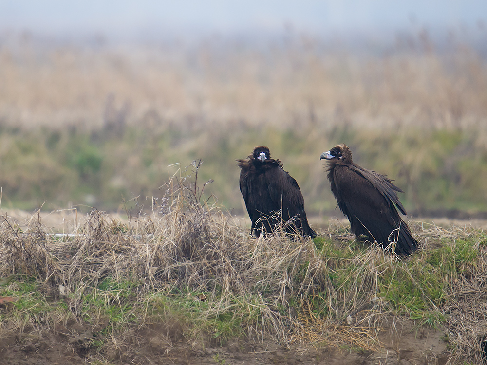 After more than two weeks on Chongming, our Cinereous Vulture appear to be doing fine. Here they were yesterday.