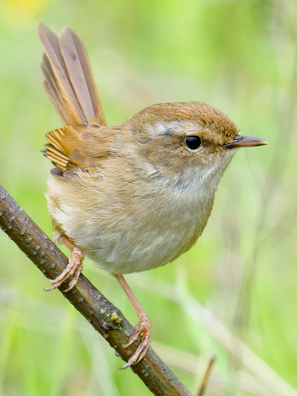 Brown-flanked Bush Warbler