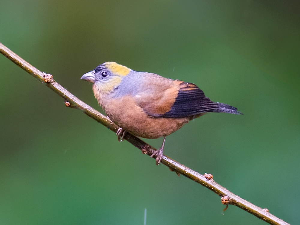 Golden-naped Finch was a major target for us. This female was photographed 23 Feb. at Sibia Lane.