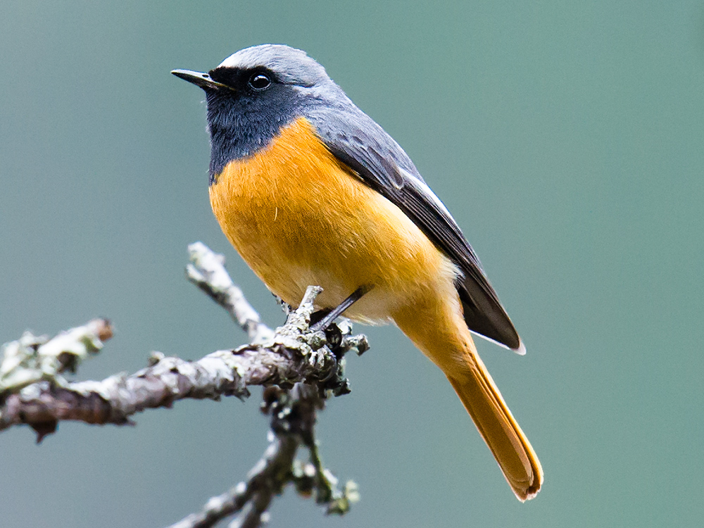 Hodgson's Redstart, Dizhengdang, 1 March 2016. We found this handsome male in open forest at the fringe of farmland.