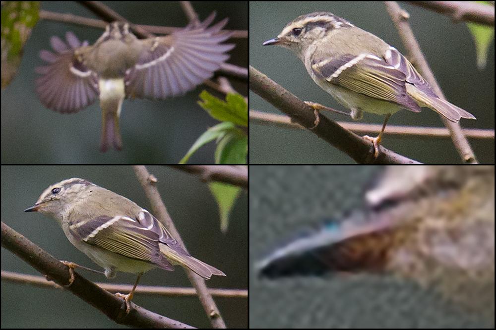 Sichuan Leaf Warbler