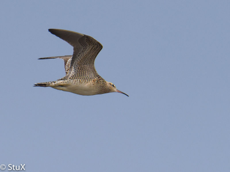 Little Curlew, Lesser Yangshan Island, 17 April 2016. © 2016 by Stephan Popp & Xueping Popp.
