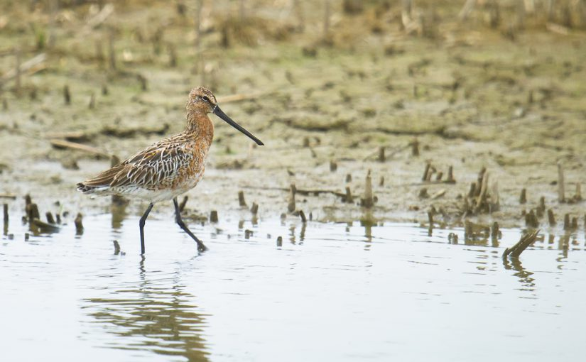 Asian Dowitcher, Nanhui, Shanghai, 24 April 2016. Listed as near-threatened by the IUCN, Limnodromus semipalmatus breeds in Siberia, Mongolia, and Heilongjiang occurs on passage in the Shanghai area.