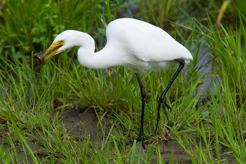 Intermediate Egret with prey, Hengsha, 9 April 2016.