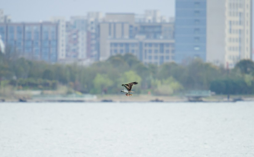 Western Osprey carries a fish while flying over Dishui Lake in Shanghai, Mon. 4 April 2016. Lingang a satellite city that did not exist 10 years ago, looms in the background.