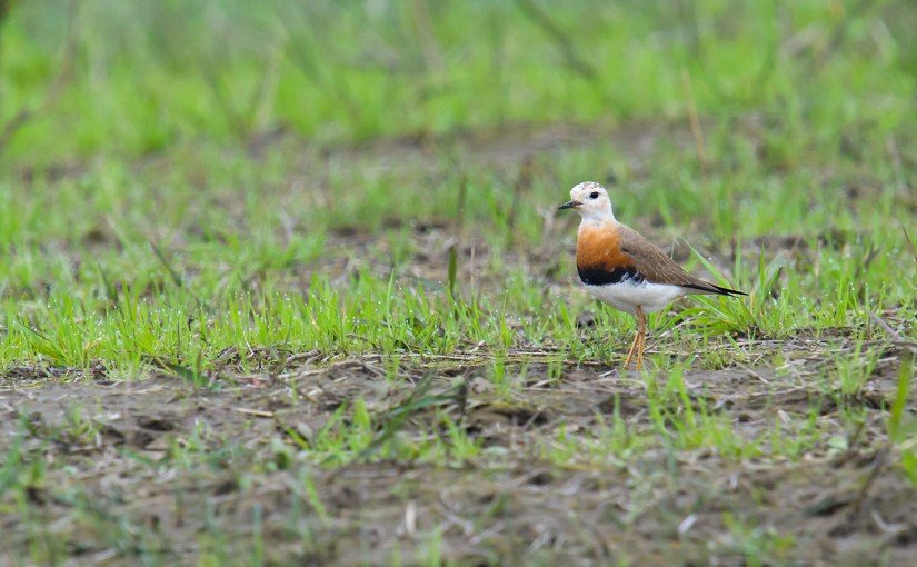 Oriental Plover Highlight 103-Species Weekend