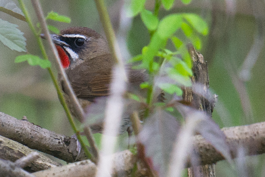 Siberian Rubythroat, Nanhui, 24 April 2016.