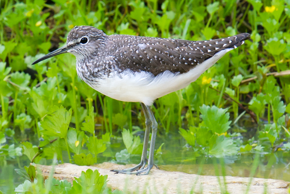Green Sandpiper in gully below Guanyin Temple, Lesser Yangshan Island, 10 April 2016.