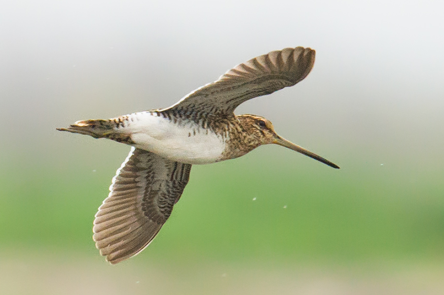 Common Snipe, Chongming Island, Shanghai, 3 April 2016. Can you see the three main differences between this bird and the 'Swintail' above? To wit: longer bill, whiter underwings, and whiter trailing edge to the wings (visible, as here, even from below).