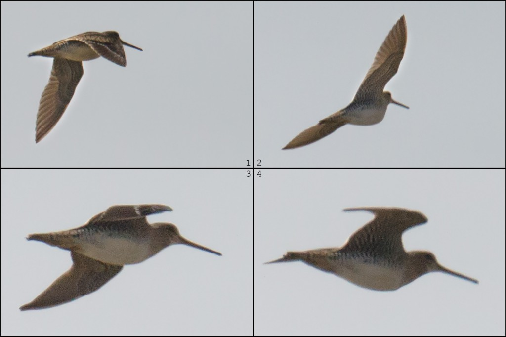 'Swintail' Snipe, Nanhui, 4 April 2016. Note the bill, shorter than the very long bill of Common Snipe, and the underwing, with 'Swintail' showing a uniformly dark, banded underwing and Common usually showing white underwing coverts. Note the pale, diffuse trailing edge to the wing of 'Swintail,' in contrast to the bright-white trailing edge of Common. 'Swintail' is birder's jargon meaning Swinhoe's Snipe or Pin-tailed Snipe, two species that are nearly impossible to separate in the field. The snipe pictured here could be either.