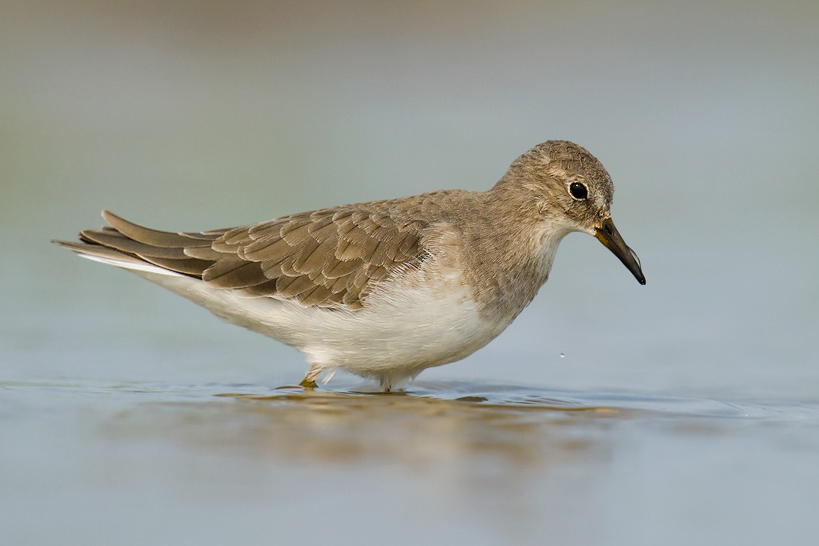 FROM THE CRAIGBRELSFORD.COM ARCHIVES: Temminck's Stint, Yangkou, Rudong, Jiangsu, 19 Sept. 2012. Calidris temminckii is a loner and prefers freshwater habitats. It is a passage migrant in the Shanghai region, and there are winter records. We noted 3 on 23 April 2016 at Nanhui, Shanghai.