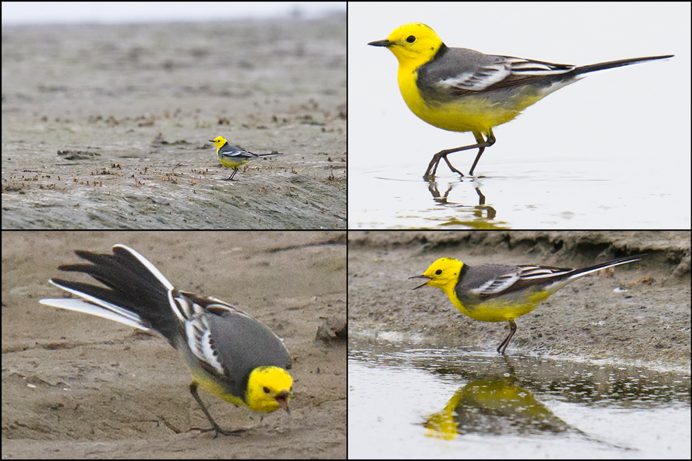 Citrine Wagtail, Nanhui, 10 April 2016. Perhaps the most beautiful of wagtails, Motacilla citreola is a scarce passage migrant in Shanghai.