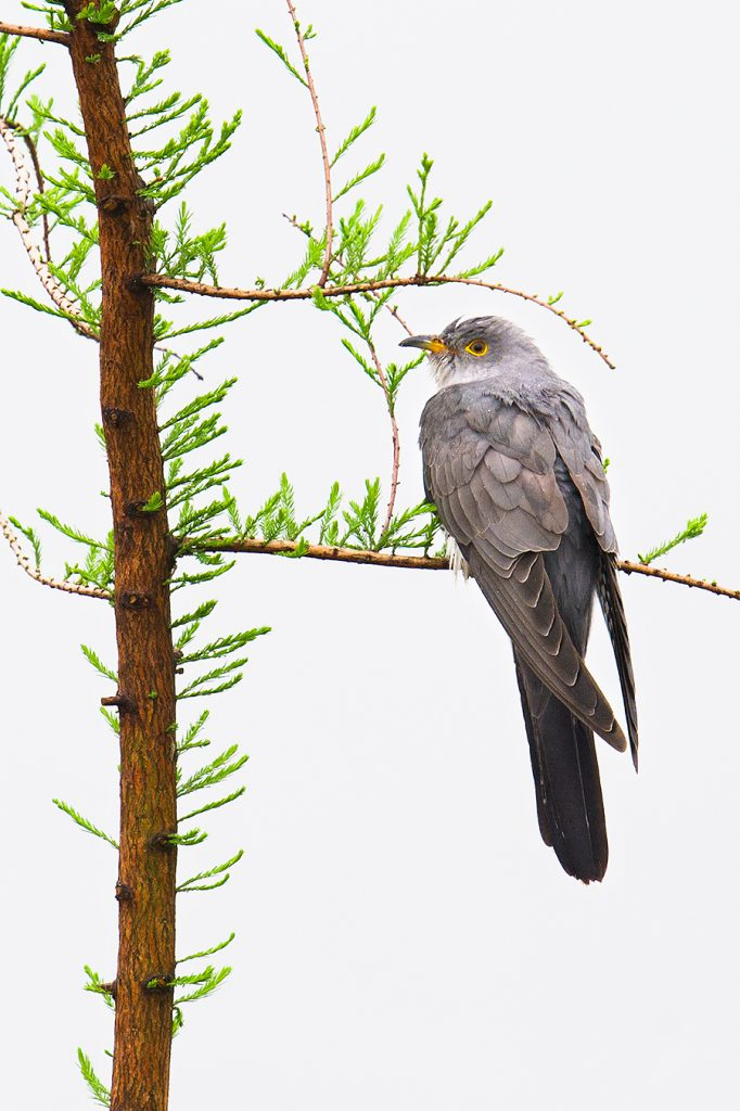 Cuculus cuckoo, Nanhui, 8 May 2016. By size we know it's not Lesser Cuckoo, by iris color we know it's not Indian Cuckoo, and we can guess that it's probably Common Cuckoo. But Himalyan and Oriental can't be ruled out.