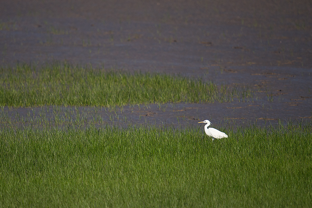 Chinese Egret, Nanhui, 30 April 2016.