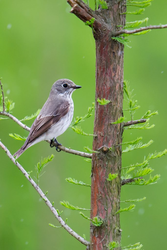 Grey-streaked Flycatcher in the rain, Nanhui, 7 May 2016.