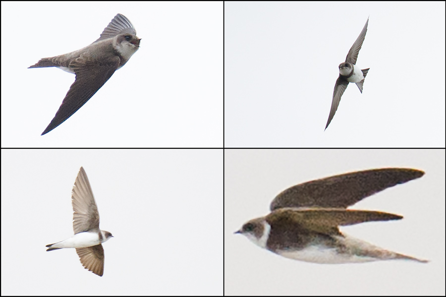 "Pale/Sand Martin Riparia diluta/riparia, Nanhui, 7 May 2016. Both species are possible in Shanghai this time of year. Of the two species, Brazil says, ""[F]ield identification criteria remain uncertain."""