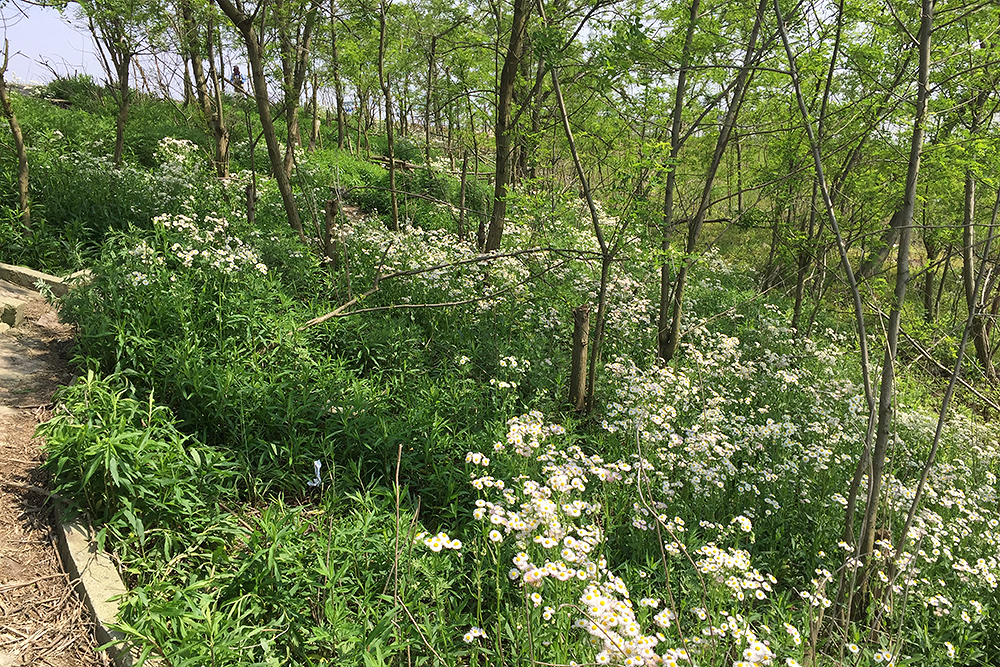 Microforest, Nanhui, Shanghai, 1 May 2016. Beautiful daisies grace the forest floor. Vegetation is thick, the leaves have sprouted, and birds are many.