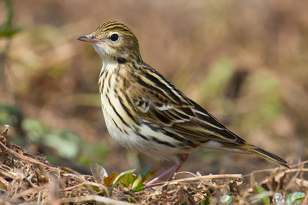 Another view of Pechora Pipit, Nanhui, 1 May 2016. Note the fine but distinct streaks on the crown and the pinkish bill.