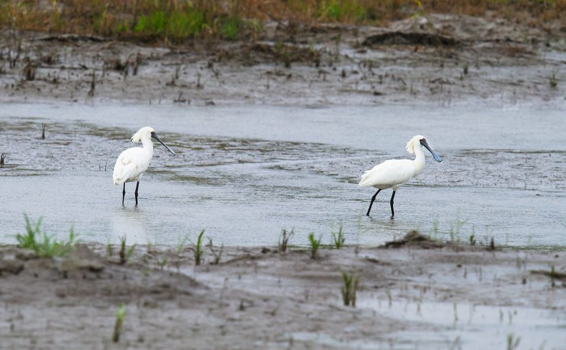 Black-faced Spoonbill in sub-adult plumage, Nanhui, Shanghai, China, 7 May 2016. The spoonbills were taking advantage of the rainy weather, using pools just below the sea wall road. The road is busy when the weather is good but on rainy days is quiet.