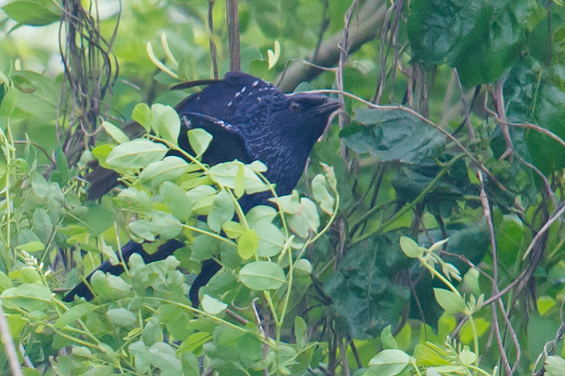 Blue Whistling Thrush, Nanhui, 15 May 2016.