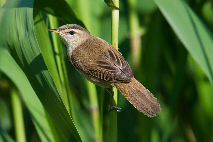 Black-browed Reed Warbler, Nanhui, 17 May 2016.