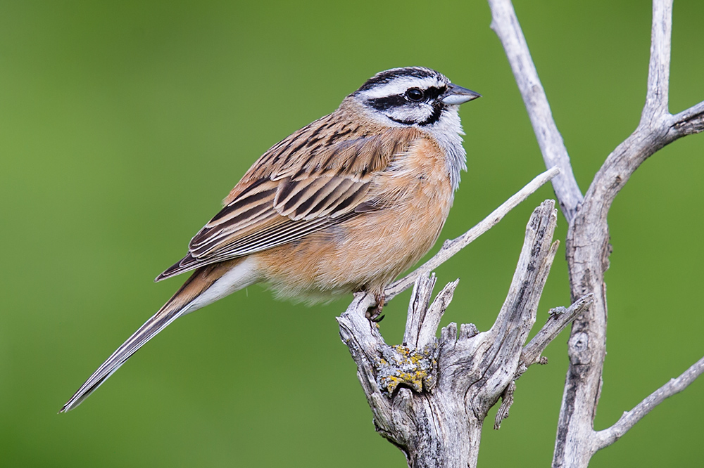 Rock Bunting Emberiza cia par, Altai Mountains, 18 May 2012. Rock Bunting occurs in mountainous areas from southern Europe and North Africa to Xinjiang and Tibet. Photo by Craig Brelsford.