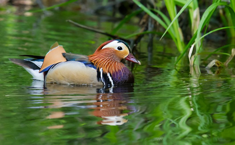 Mandarin Duck, Xidaquan, 3 June 2016.