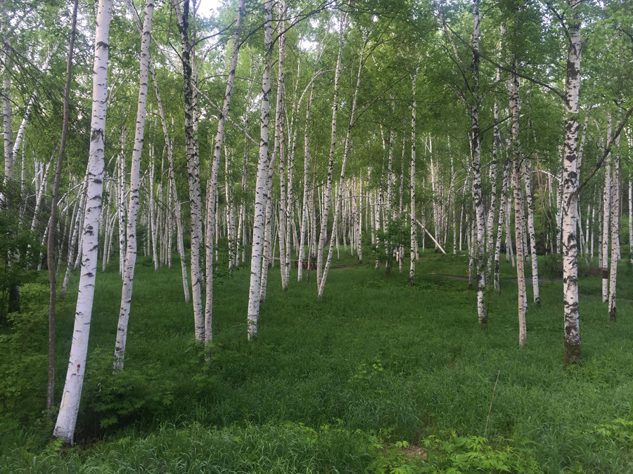 Silver Birch Grove (白桦林), one of the attractions of Xidaquan National Forest in Boli County, Heilongjiang.