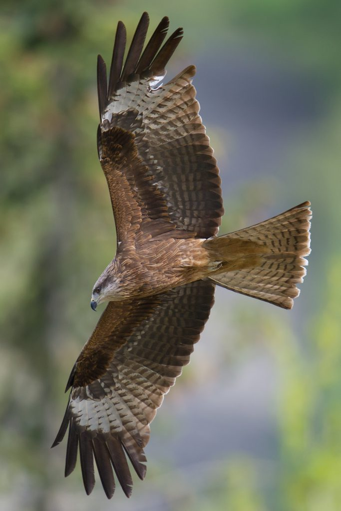 Black Kite in Altai Mountains, 18 May 2012. Photo by Craig Brelsford.