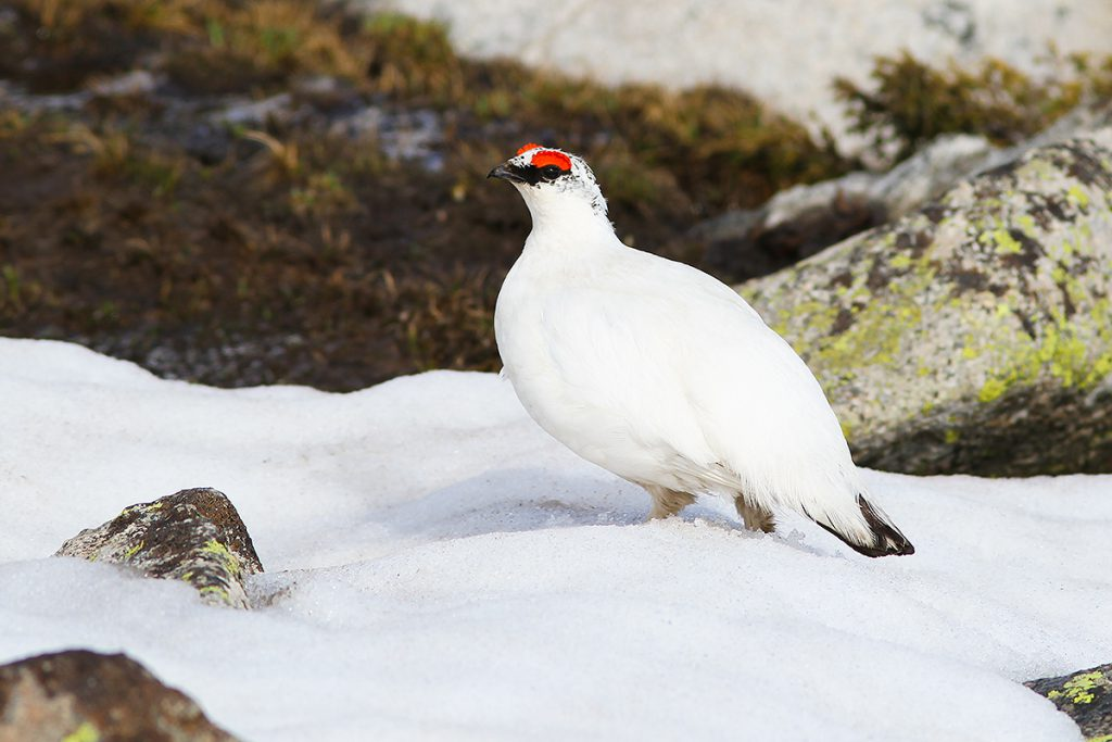 Rock Ptarmigan, 5 June 2016. A Holarctic species, Lagopus muta in China occurs only in the Altai Mountains of N Xinjiang. Photo © 2016 by John MacKinnon for shanghaibirding.com.