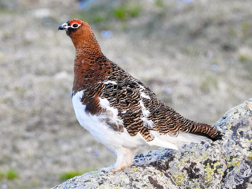 Willow Ptarmigan Lagopus lagopus. Photo by John MacKinnon.