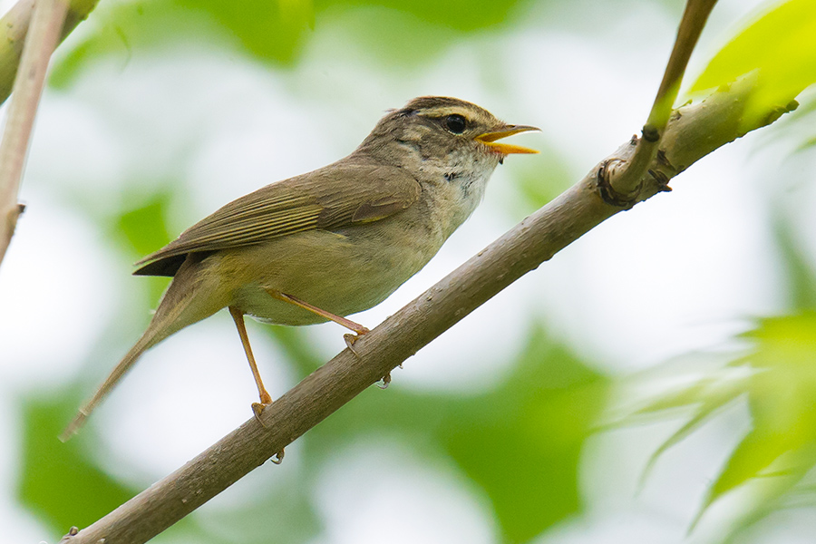 Radde's Warbler is a powerful singer and among the most conspicuous birds at Xidaquan National Forest.