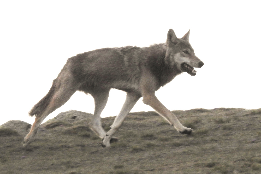 Grey Wolf trotting across tundra, Altai Mountains, 5 June 2016. Photo by John MacKinnon.