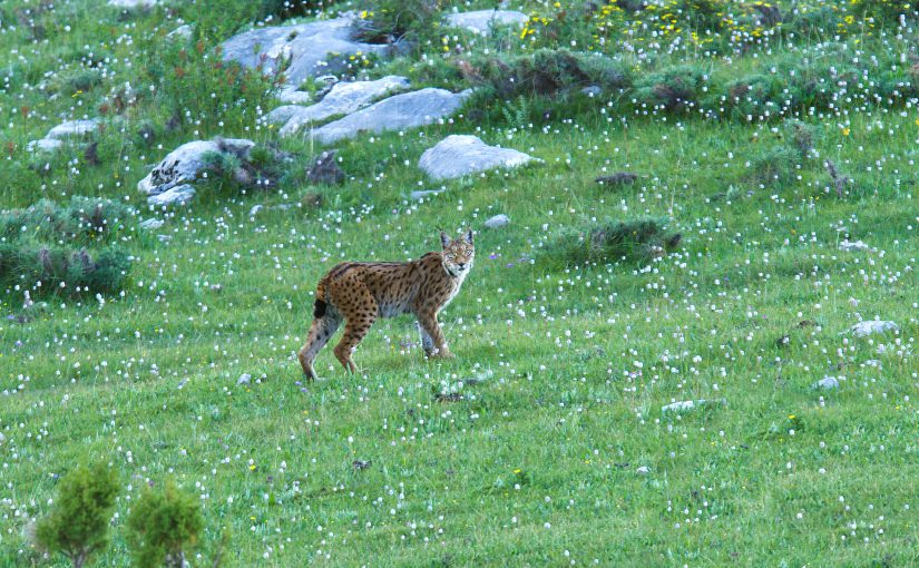 Tibetan Lynx, Kanda Mountain, Qinghai