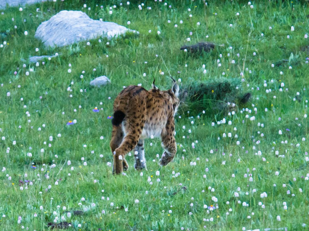 The cat slinks away. The lynx gave us a few seconds of its time—and a memory to last forever.