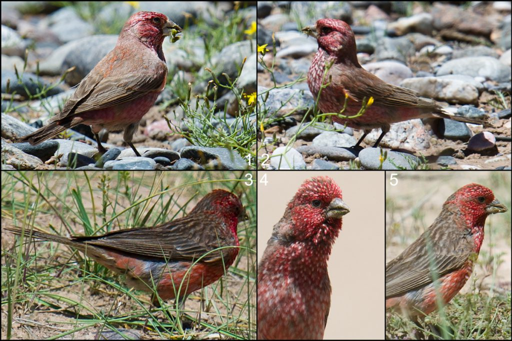 "This montage shows two individuals, one (1, 2) a male Great Rosefinch, the other (3-5) a male Streaked Rosefinch. The birds were photographed on 22 July 2016 within a few hundred meters of each other in the semi-desert west of Dulan in Haixi Prefecture, Qinghai. The elevation here is 3340 m. Note the more strongly streaked back of the Streaked Rosefinch, the darker flight feathers, and the smaller white spots on its breast. The two species are deceptively similar, a situation neatly summed up by the Chinese name for Streaked Rosefinch: ""pseudo-Great Rosefinch"" (拟大朱雀)."