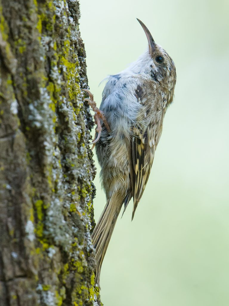 Eurasian Treecreeper, one of several woodland species found in the poplar forests along the Heihe and Babao rivers.