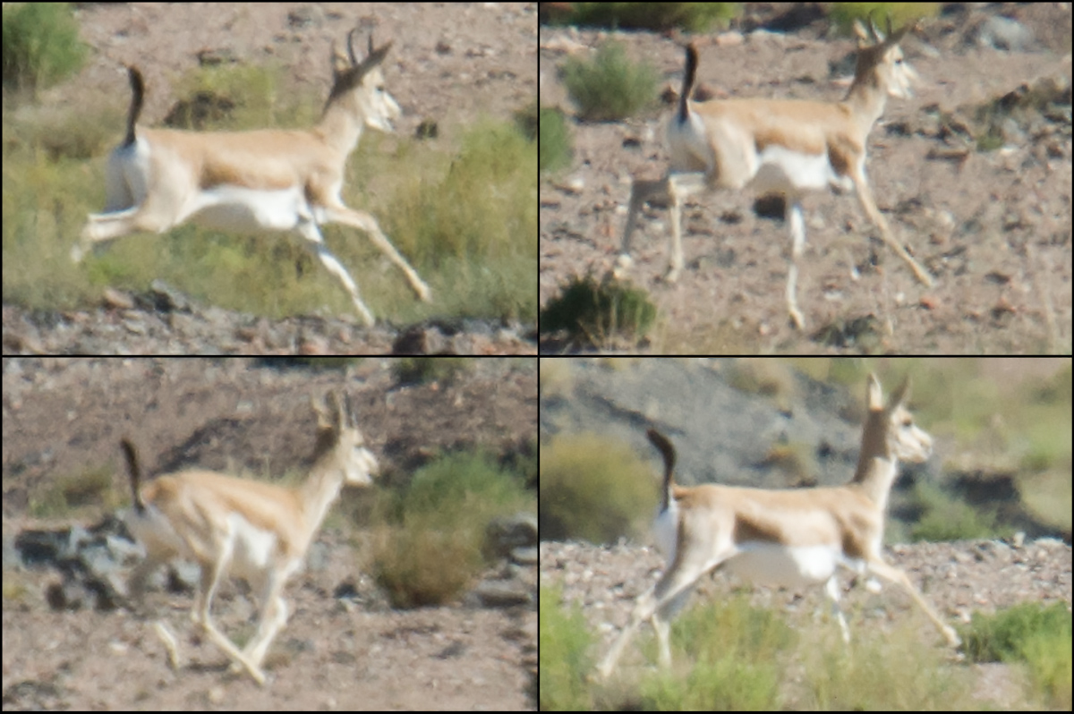 Mongolian Goitered Gazelle, Lake Xiligou, 16 Aug. 2016.