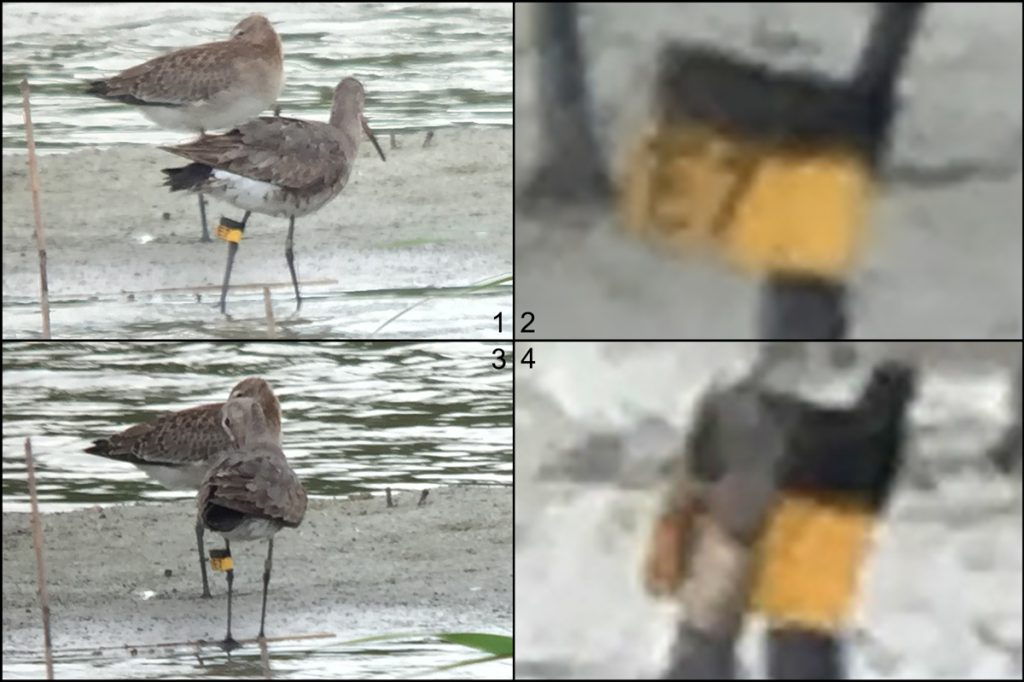 "Black-tailed Godwit, Nanhui, 27 Aug. 2016. On L tibia note black band above yellow band. Yellow band says E7. On R tibia (Panel 4), can you see the metal band? Recording data like these helps researchers at the Australasian Wader Studies Group determine where your bird was banded. Whenever possible, they will report back to you with a history of the bird. Be on the lookout for banded birds, <a href=""http://awsg.org.au/wp-content/themes/AWSG/reportform.php"" target=""_blank"">make your report</a>, and enjoy the treat of a response from AWSG. Thanks to Komatsu Yasuhiko, who used my iPhone 6 and his spotting scope to get these images."