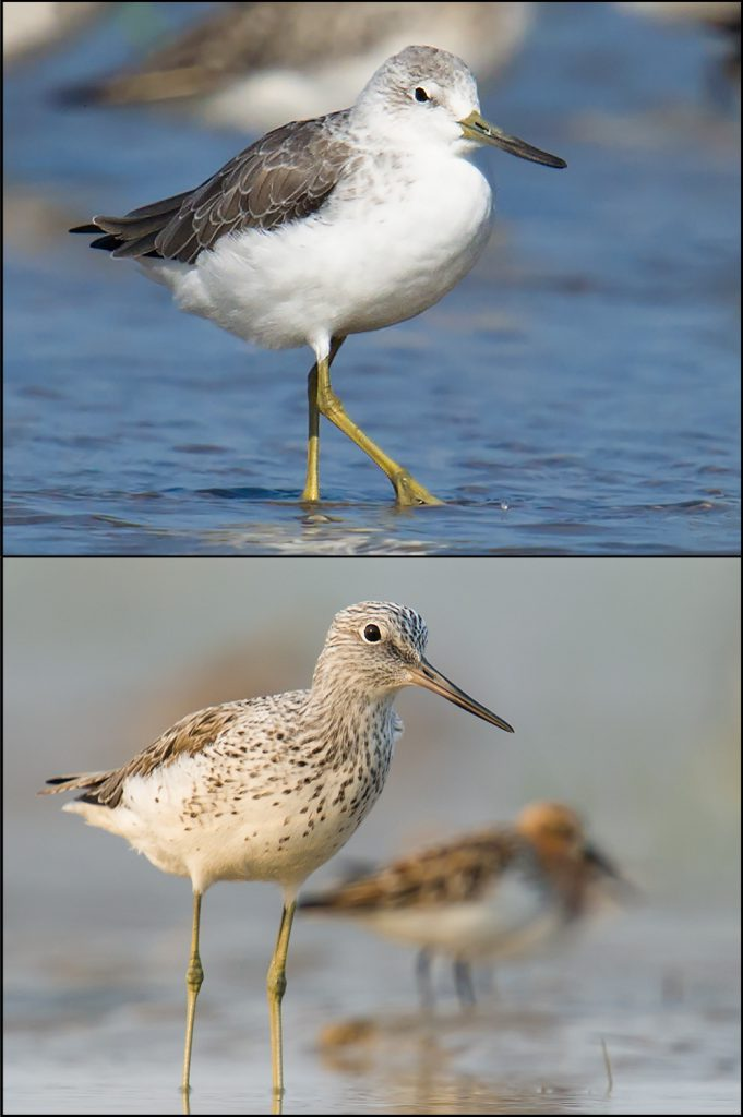 The larger head and thicker neck of Nordmann's (top) give it a more hunched appearance than the more graceful Common (bottom).