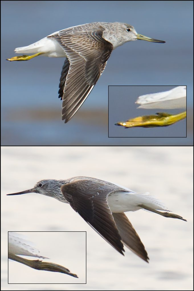 With its shorter legs, Nordmann's Greenshank (top) shows just a bit of toe projection. The longer-legged Common Greenshank (bottom) shows more.