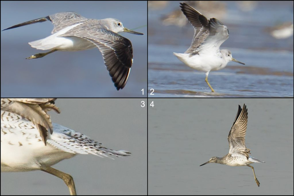 "The tail and underwing of Nordmann's Greenshank are clean white (panels 1, 2). The tail and underwing of Common Greenshank are streakier (3, 4). All photos in this section taken by Craig Brelsford in <a href=""https://www.shanghaibirding.com/sites/yangkou/"" target=""_blank"">Yangkou</a>, Rudong, Jiangsu in May 2011, May 2014, and October 2014."