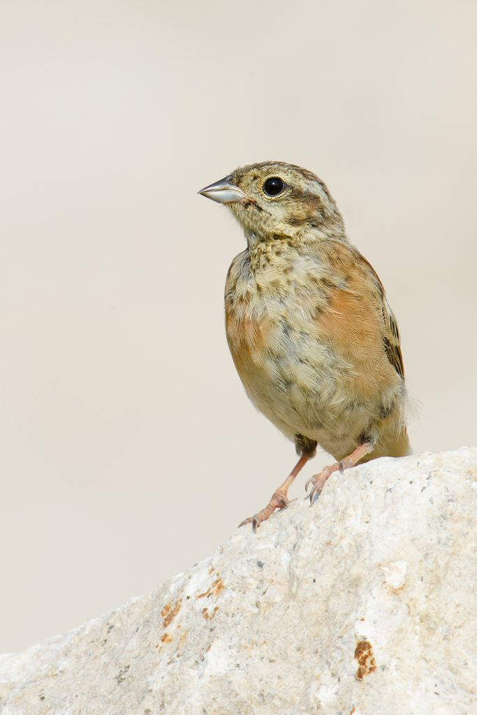 A juvenile Meadow Bunting stands at attention at the mouth of Garbage Dump Gully, Lesser Yangshan Island, 3 Sept. 2016. A Lesser Yangshan specialty, Meadow Bunting breed on the island but are rarely found on the Shanghai mainland.